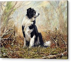 Border Collie Acrylic Print by Anthony Forster