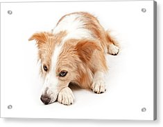 Border Collie Dog Laying Down  Acrylic Print by Susan Schmitz