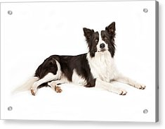 Border Collie Dog Looking Forward Acrylic Print by Susan Schmitz