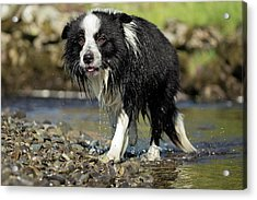 Border Collie Dripping Wet After Swimming Acrylic Print