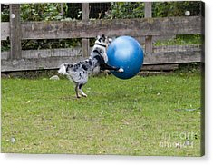 Border Collie Playing Catch Acrylic Print