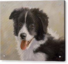 Border Collie Pup Portrait Iv Acrylic Print
