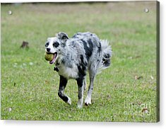 Border Collie Retrieving A Ball Acrylic Print by William H. Mullins
