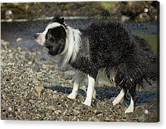 Border Collie Shaking Dry After Swimming Acrylic Print