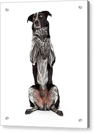 Border Collie Sitting Paws Up Acrylic Print by Susan Schmitz