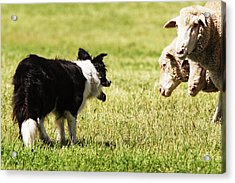 Border Collie Staring At Three Sheep Acrylic Print by Piperanne Worcester