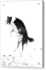 Border Collie With Ball Acrylic Print by Jan Tyler
