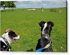 Acrylic Print featuring the photograph Border Collies by Dennis Cox WorldViews