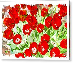 Bordered Red Tulips Acrylic Print by Will Borden