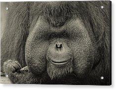 Bornean Orangutan II Acrylic Print
