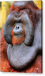 Bornean Orangutan Iv Acrylic Print by Lourry Legarde
