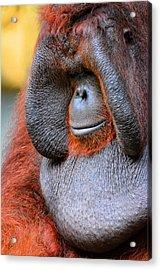 Bornean Orangutan Vi Acrylic Print by Lourry Legarde