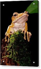 Borneo Eared Frog, Polypedates Acrylic Print by David Northcott