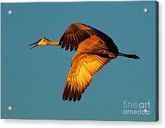 Bosque Del Apache Sandhill Crane Golden Light Acrylic Print by Bob Christopher