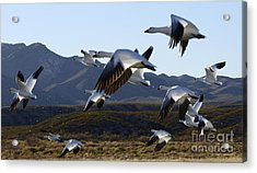 Bosque Del Apache Snow Geese In Flight Acrylic Print by Bob Christopher