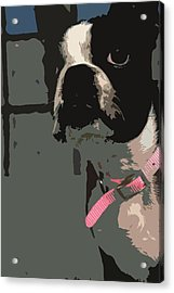 Boston Terrier Art01 Acrylic Print by Donald Williams