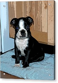 Boston Terrier Art02 Acrylic Print by Donald Williams