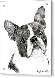 Acrylic Print featuring the drawing Boston Terrier by Jim Hubbard