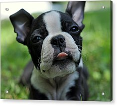 Boston Terrier Acrylic Print by Kerry Singleton