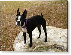 Boston Terrier On The Rock Acrylic Print by Donald Williams