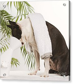 Boston Terrier Steam Therapy Acrylic Print