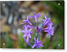 Botanical Art Print - Tiny Dancers By Sharon Cummings Acrylic Print by Sharon Cummings