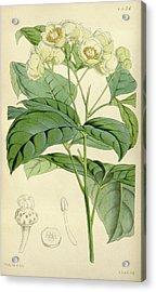 Botanical Print By Walter Hood Fitch 1817 – 1892 Acrylic Print