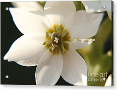 Botanical Purity Acrylic Print