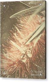 Bottlebrush Fine Art Illustration Acrylic Print
