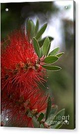 Bottlebrush In Red Acrylic Print by Joy Watson