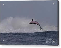 Bottlenose Dolphin Photo Acrylic Print by Meg Rousher