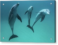 Bottlenose Dolphins Acrylic Print by Barathieu Gabriel