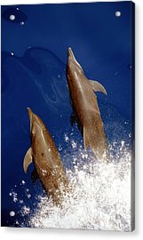 Bottlenose Dolphins Tursiops Truncatus Acrylic Print by Anonymous