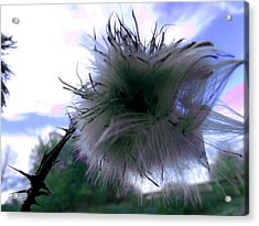 Bottomland Thistle Acrylic Print by Erin Rednour