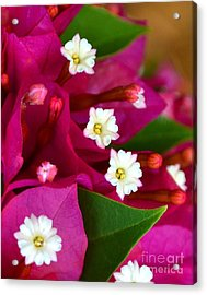 Acrylic Print featuring the photograph Bougainvillea- Fuschia by Darla Wood