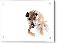 Bounding In Snow Acrylic Print by Thomas R Fletcher
