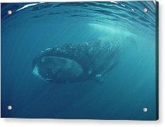 Bowhead Whale Baffin Isl Canada Acrylic Print