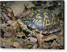 Acrylic Print featuring the photograph Box Turtle Sunning by Bradley Clay