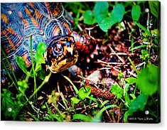 Box Turtle Acrylic Print by Tara Potts