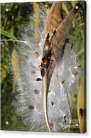 Boxelder On Butterfly Milkweed 2 Acrylic Print by Sara  Raber