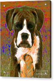 Boxer 20130126v1 Acrylic Print by Wingsdomain Art and Photography