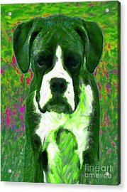 Boxer 20130126v3 Acrylic Print by Wingsdomain Art and Photography
