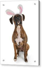 Boxer Bunny Acrylic Print by Suzi Nelson