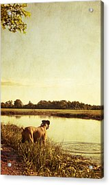 Boxer Dog By The Pond At Sunset Acrylic Print by Stephanie McDowell