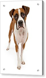 Boxer Dog Isolated On White Acrylic Print by Susan Schmitz