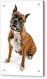 Boxer Dog Looking Forward Acrylic Print by Susan Schmitz