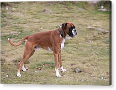 Boxer Dog Acrylic Print by Mark Severn