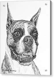Boxer Dog Sketch Acrylic Print by Kate Sumners
