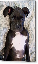 Boxer Puppy Laying In Bed Acrylic Print by Stephanie McDowell