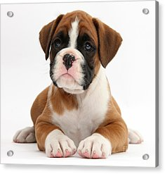 Boxer Puppy Acrylic Print by Mark Taylor